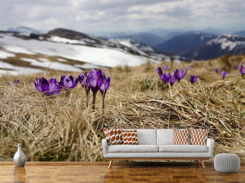Photo Wallpaper Purple crocus