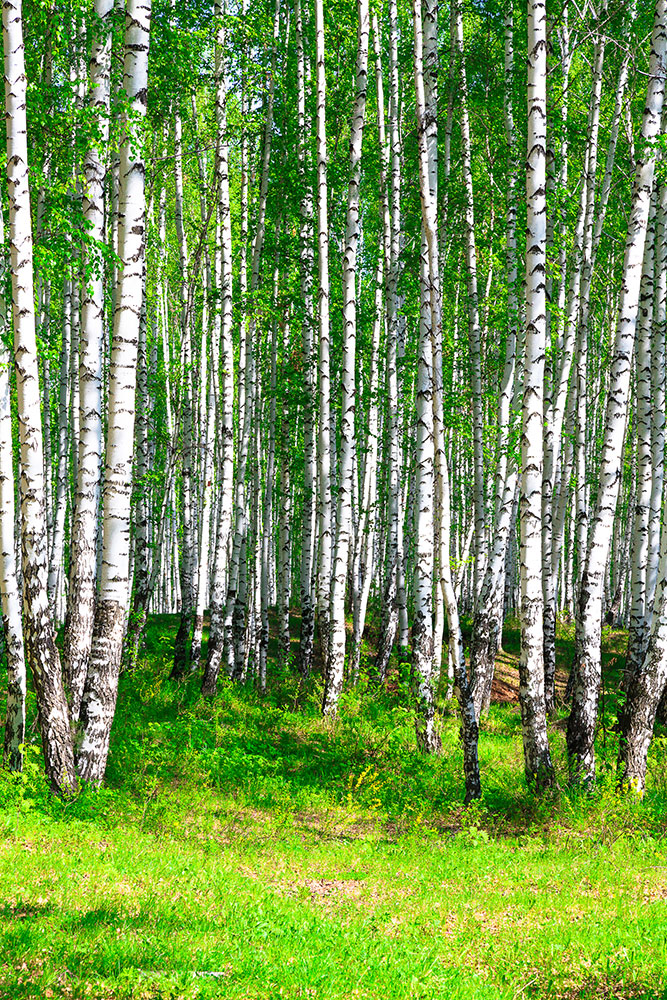 Photo Wallpaper The Birch Forest In Summer