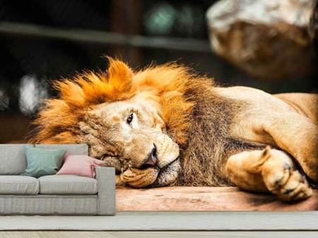 Photo Wallpaper Relaxed Lion